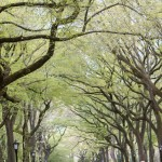 A canopy made of American Elm Trees in Central Park.